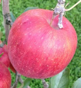 りんご・シナノスイート5kg