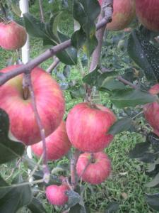りんご・つがる5kg