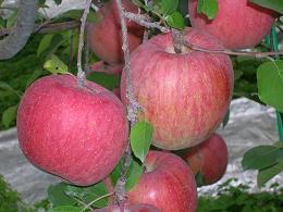 蜜入り『サンふじりんご』≪送料無料≫ 5kg